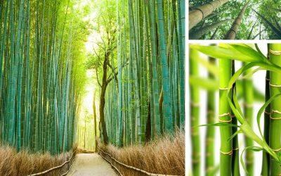 Bambu (Bambusoideae)