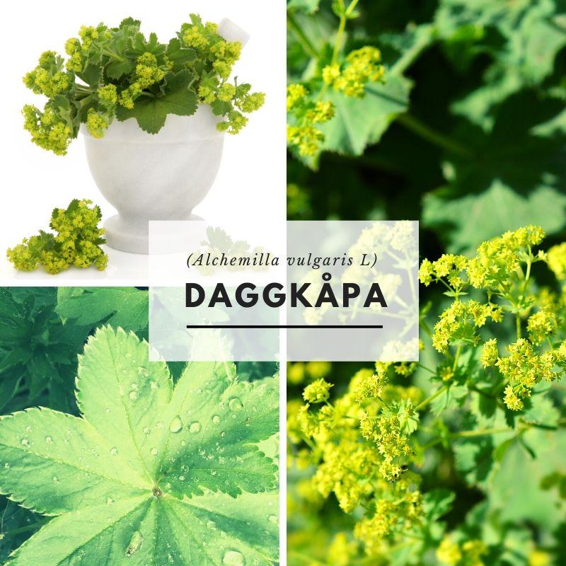 Daggkåpa-Örter-Scandinavian Herbs