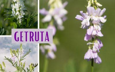 Getruta (Galega officinalis)
