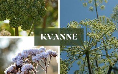 Kvanne (Angelica archangelica)