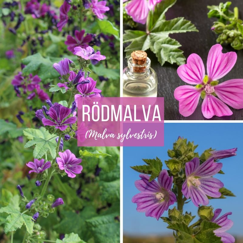 Rödmalva-Örter-Scandinavian Herbs