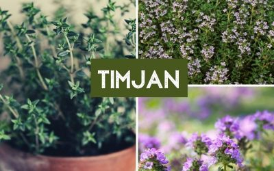 Timjansläktet (Thymus)