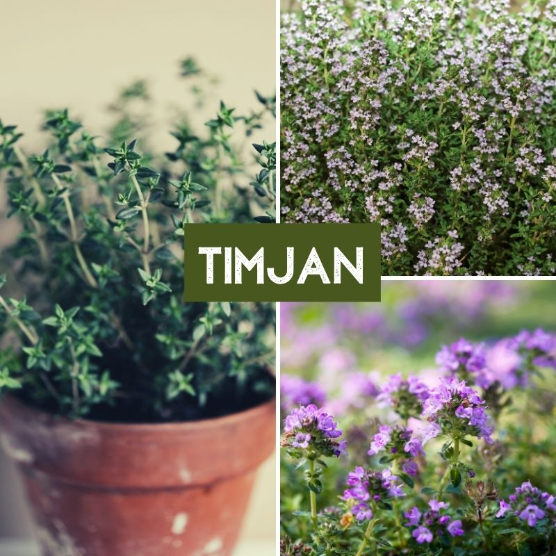 Örter Läkeörter Timjan Thymus
