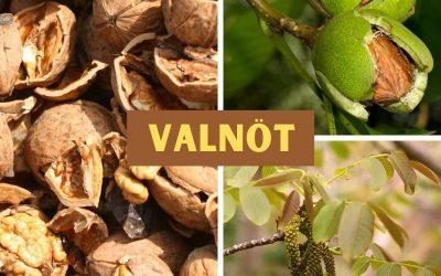Valnöt (Juglans regia)